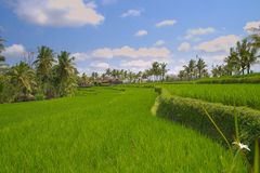 Traditional Rice field terraces near Ubud Indonesia royalty free stock photos