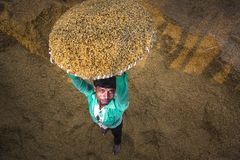 Traditional Rice Mill Worker turn over paddy for drying. In the sun at Ishwardi Upazila, Pabna District in Rajshahi Division, Bangladesh stock image