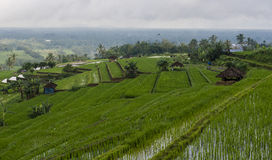 Traditional Rice Paddy Terrace. Scenic view of terraced rice paddy and rice plants in Asia Royalty Free Stock Photos