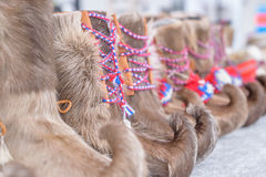 Traditional sami handmade footwear from reindeer fur. With colourful laces royalty free stock photography
