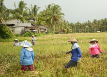 A traditional scene of local Balinese workers manually working in the rice fields during harvest season Stock Photography