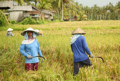 A traditional scene of local Balinese workers manually working in the rice fields during harvest season Stock Images