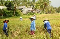 A traditional scene of local Balinese workers manually working in the rice fields during harvest season Royalty Free Stock Photography