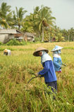 A traditional scene of local Balinese workers manually working in the rice fields during harvest season Stock Photo