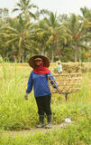 A traditional scene of local Balinese workers manually working in the rice fields during harvest season Stock Image