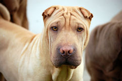 Traditional shar pei portrait. Traditional adult shar pei portrait Royalty Free Stock Photo