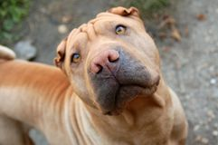 Traditional sharpei dog portrait. Fawn coloured sharpei female's portrait Royalty Free Stock Photo