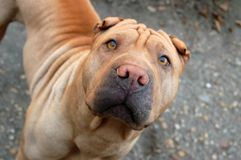 Traditional sharpei female Stock Images