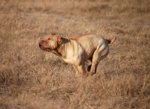 Traditional sharpei running,. Fawn shar pei adult running very fast, sprinter Stock Photography