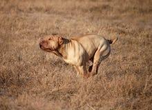 Free Traditional Sharpei Running, Stock Photography - 24754432