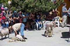Traditional shearing sheep Stock Images