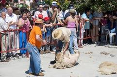 Traditional shearing sheep Royalty Free Stock Photography