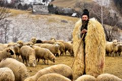 Traditional Shepherd in Transylvania ,  Romania in Bran area. Traditional Shepherd in Transylvania  , shepherd surrounded by sheep`s , old shepherd houses in the Stock Photography