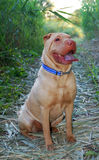 Traditional Sitting sharpei Royalty Free Stock Images