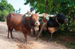 Traditional Sri Lankian yoke oxen wagon. Habarana, Sri Lanka - December 4, 2011:  Traditional Sri Lankian yoke oxen wagon with drover on rural road Stock Photo