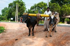 Traditional Sri Lankian yoke oxen wagon Stock Image