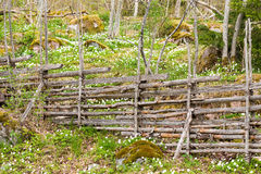 Traditional Swedish wooden fence. With Wood Anemone Royalty Free Stock Photography