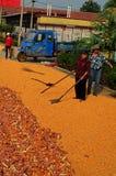 Traditional Sweetcorn Production, Shandong Shen, China Royalty Free Stock Images