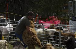 Man lifting a big fluffy white sheep for shearing in a sunny day during a Swiss French festival. Traditional Swiss French festival called Dèsalpe during which Stock Image