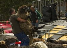Man lifting a big fluffy white sheep for shearing in a sunny day during a Swiss French festival. Traditional Swiss French festival called Dèsalpe during which Royalty Free Stock Image