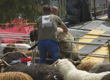 Man lifting a big fluffy white sheep for shearing in a sunny day during a Swiss French festival. Traditional Swiss French festival called Dèsalpe during which Stock Images