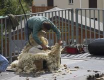 Man shearing a big fluffy white sheep in a sunny day during a Swiss French festival. Traditional Swiss French festival called Dèsalpe during which sheep is Royalty Free Stock Photos