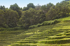 Traditional tea plantation in Sao Miguel, Azores. Portugal Stock Photography