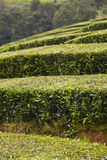 Traditional tea plantation in Sao Miguel, Azores. Portugal Stock Photo