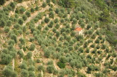 Terraced olive tree grove in Liguria, Italy Stock Image