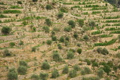Terraced olive tree grove in Liguria, Italy Royalty Free Stock Images
