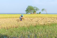 Traditional Thai farmer harvesting crops  in the rice field. Traditional Thai farmer harvesting crops in the rice field beside the lake Stock Photography