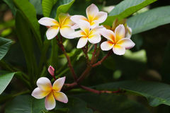 Traditional Thai flower - plumeria. Plumeria or frangpiani - one the Thailand symbols, little tender flower royalty free stock photography