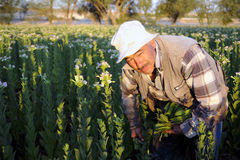 Traditional tobacco worker Royalty Free Stock Photo
