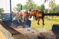 A traditional Tongan pork barbecue made of small piglets by local native indigenous Polynesian people. Tonga, Polynesia, Oceania. A traditional Tongan pork royalty free stock image
