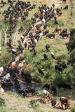 Traditional transhumance of a herd of cows crossing a river in S Royalty Free Stock Photos