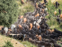 Traditional transhumance of a herd of cows in Spain Stock Photo