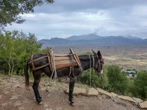 Traditional transportaion on Crete, black donkey works as taxi for tourists stock photo