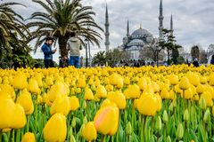 Free Traditional Tulip Festival In Sultanahmet Square Park Royalty Free Stock Photo - 136246215