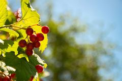 Berries of the guelder-rose on the background of the sky stock photos