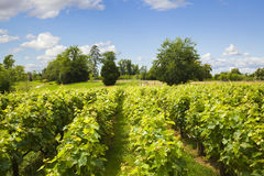 Traditional vineyard Royalty Free Stock Images