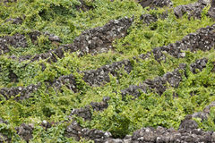 Traditional vineyard plantation in Pico island. Azores. Portugal Stock Image