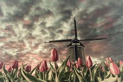 Vintage landscape with tulip fields and windmill stock images