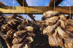 Dried stock fish in Norway. Traditional way of drying stock fish on Lofoten islands in Norway Stock Image