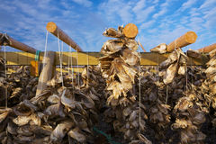 Drying stock fish in Norway. Traditional way of drying stock fish on Lofoten islands in Norway Stock Photography