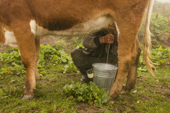 Traditional way of milking the cow.  stock photography
