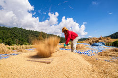 The traditional way of threshing grain in northern of Thailand. Royalty Free Stock Photo