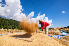 The traditional way of threshing grain in northern of Thailand. Stock Images