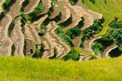 The traditional way of threshing grain in Northwest of Vietnam Royalty Free Stock Images
