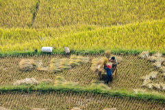 The traditional way of threshing grain in Northwest of Vietnam Stock Photos