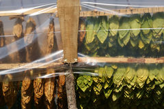 Traditional way of tobacco drying in tent stock images